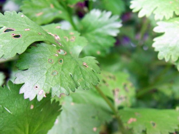 【園芸】パクチー 虫による食害 2016年[初夏]