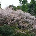 無名の山桜