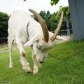 Photos: goat