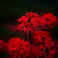 Photos: 紅の王冠