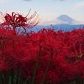 Photos: 彼岸花に富士