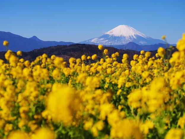 ナノハナと富士