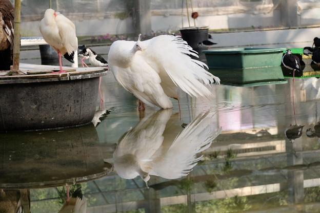 白い孔雀。