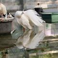 写真: 白い孔雀。
