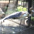 160917-2タンチョウの幼鳥