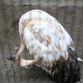 160927-7タンチョウの幼鳥