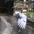 161006-5タンチョウの幼鳥