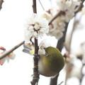 170227-1白梅の蜜を吸うメジロ