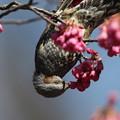 写真: 170310-6寒緋桜の蜜を吸うヒヨドリ