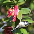 写真: 170318-2ツバキの花びらを食べるシジュウカラ(1/2)