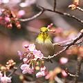 Photos: 110222-11河津桜とメジロ