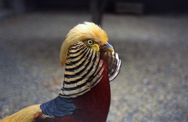 Photos: 金鶏