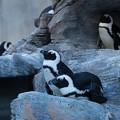 Photos: サンシャイン水族館 ペンギン