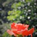 写真: 薔薇の想い!