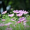 写真: もう秋桜が・・・