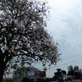 Photos: ペナン桜が満開です。