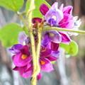 美しい葛(クズ)の花。