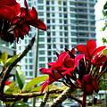 高層ビルに映える、赤い花。(ブルメリア)(