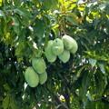 マンゴの木です。100個以上の実ができています。