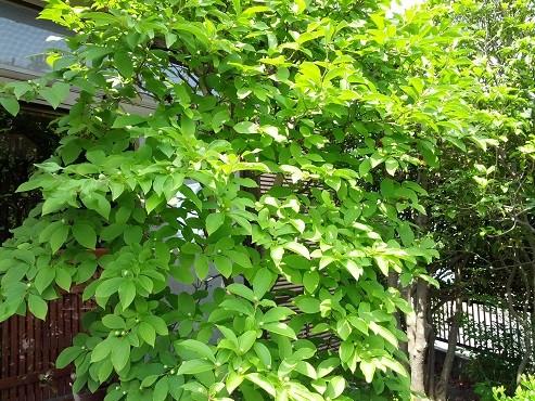 沙羅双樹(2016年6月11日撮影、仙台市青葉区にて)
