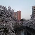 Photos: 桜(「ホテル椿山荘東京」近くの神田川沿い)