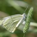 写真: モンシロチョウもうすぐ飛べるかな