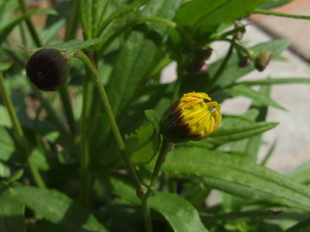 黄色い草花