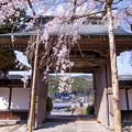 2017 善光寺の垂れ桜4