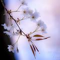 2017 雲遊寺の山桜2