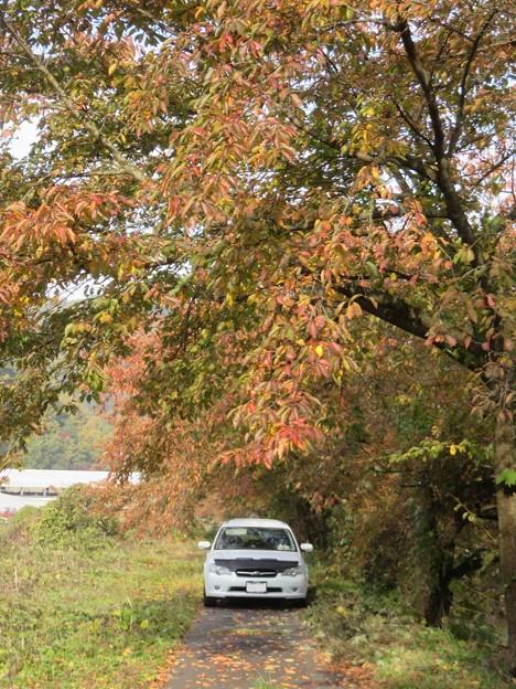 秋の桜並木