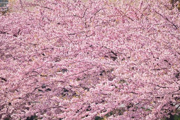 河津桜 40