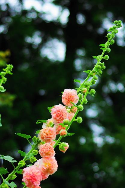 八重咲き葵