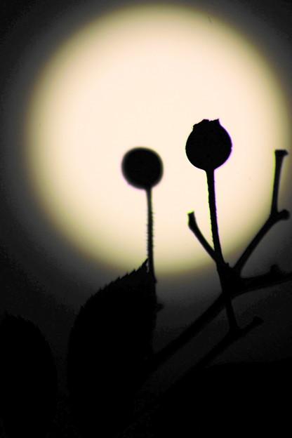 薔薇の実とお月様