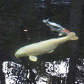 写真: 伊勢神宮 内宮 巨大な鯉
