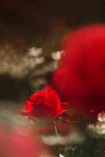 一輪の薔薇を