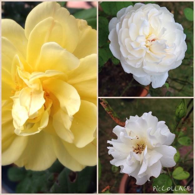 9月1日のバラ