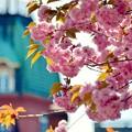 旧北海道庁の桜