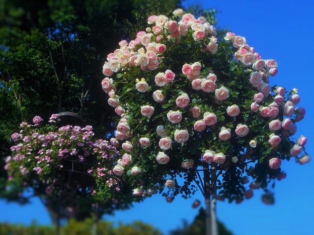 咲き誇る 薔薇のオベリスク