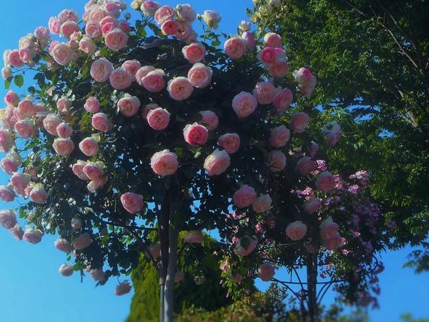 ローズヒルは花盛り2