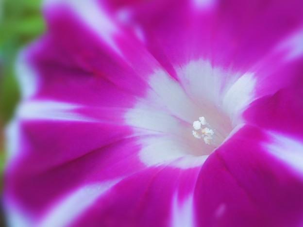 梅雨に咲く 夏の風物詩~朝顔~