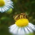花粉にまみれて せっせと働くミツバチくん