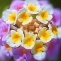初夏の風に咲く ランタナの小花たち