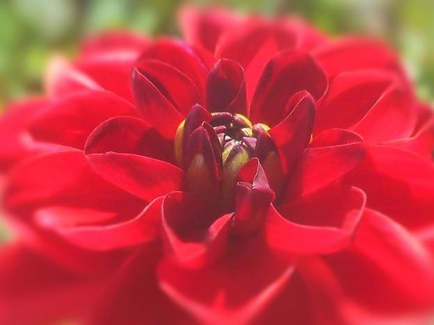 初夏に咲く 深紅なダリア