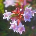 海岸通りの アベリアの花(ピンク)