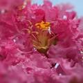 夏の花 サルスベリの薄紅色