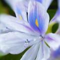 写真: 爽やかに咲く ホテイソウの花