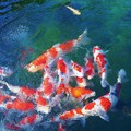 Photos: 爽秋の錦鯉たち