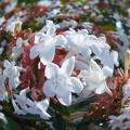 秋の緑地に アベリアの花盛り