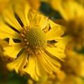 元気に咲き乱れる 秋の花 ヘレニウム