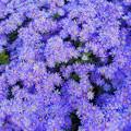Photos: 紫苑(シオン)の咲く丘